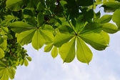 Translucent and green horse chestnut leaves in back lighting on blue sky background — Stock Photo