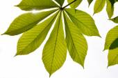 Translucent horse chestnut textured green leaves in back lighting on white sky background with sun shine flare (full leaf) — Stock Photo