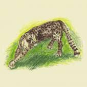 Wild cat, irbis, leopard, snow bars — Stock Vector