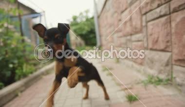Dwarf dog runs to the camera — Stock Video