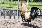 Tuppen på gården — Stockfoto