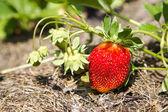 Fragole in giardino — Foto Stock
