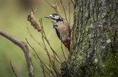 Great spotted woodpecker, Dendrocopos major, perched on the side of a tree — Stock Photo