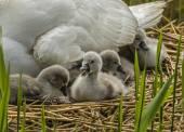 Mute swan, Cygnus olor, Cygnets on the nest — Stock Photo