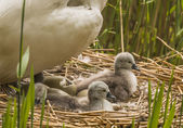 Mute swan, Cygnus olor, on nest with hatching egg and newly hatched Cygnets — Stock Photo