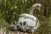 Mute swan, Cygnus olor, leaving nest with Cygnets — Stock Photo