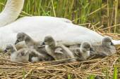Mute swan, Cygnus olor, on nest with Cygnets — Stock Photo