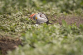 Puffin, Fratercula arctica, head popping out of its burrow — Stock Photo