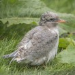 Arctic tern, Sterna paradisaea, chick sitting on the grass — Stock Photo #78566668