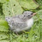 Arctic tern, Sterna paradisaea, chick sitting on the grass — Stock Photo #78566872