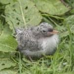 Arctic tern, Sterna paradisaea, chick sitting on the grass — Stock Photo #78568308