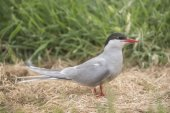 Arctic tern, Sterna paradisaea, standing on some dry grass — Stock Photo