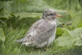 Arctic tern, Sterna paradisaea, chick sitting on the grass — Stock Photo