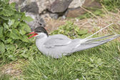 Arctic tern, Sterna paradisaea, sitting on the grass squawking — Stock Photo