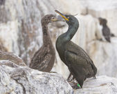 European Shag, Phalacrocorax aristotelis, adult and chick, on the cliff edge — Stock Photo