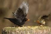 Robin and blackbird on a tree stump feeding — Stock Photo