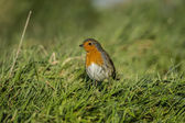 Robin on the grass — Stock Photo