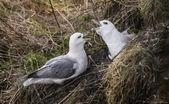 Fulmars, Fulmarus glacialis, mating ritual — Stock Photo