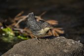Dipper juvenile on a rock — Stock Photo