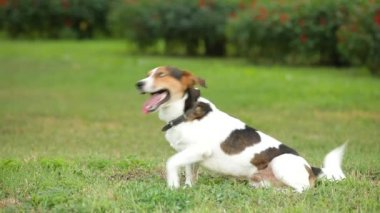 Jack russell terrier — Stock Video