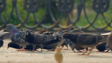 A flock of pigeons eating bread crumbs at city. — Stock Video
