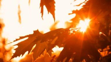 Orange Leaves Sycamore Sanctified Sunshine — Stock Video