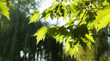 The Seeds And Leaves Of The Plane Tree — Stock Video