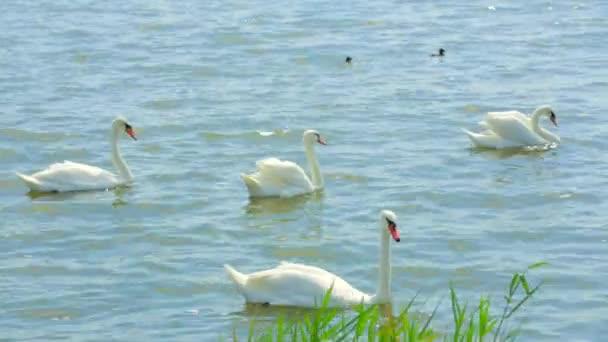 Cisnes con bebés nadando en el lago — Vídeo de stock