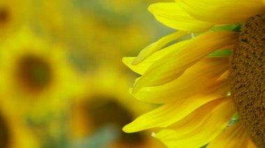 Sunflower Petals — Stock Video