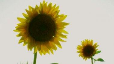 Pair Sunflowers — Stock Video