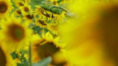 Field Of Sunflowers — Stock Video