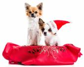 Chihuahuas in the Christmas basket — Stock Photo