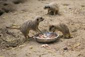 Meerkats eating chicks — Stok fotoğraf