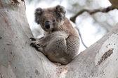Australian Koala Bear  -  Stock Image — Stock Photo