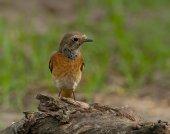 Rougequeue commun (phoenicurus phoenicurus) — Photo