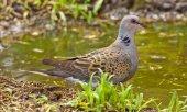 European turtle dove (Streptopelia turtur) — Stock Photo