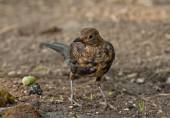 Common blackbird (Turdus merula) — Stock Photo