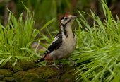 Great spotted woodpecker (Dendrocopos major) — Stock Photo
