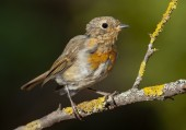 European robin (Erithacus rubecula) — Stock Photo