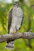 Eurasian sparrowhawk (Accipiter nisus) — Stock Photo
