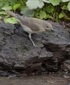 Garden warbler (Sylvia borin) — Stock Photo