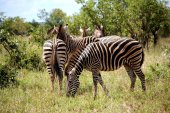 Herd of zebras in Kruger National park. Autumn in South Africa. Wild nature. — Stock Photo