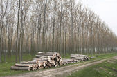 Wood trunks cutted — Stock Photo