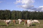 Cattle pasture in grassland under blue sky — Stock Photo