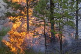 Pine forest fire — Stock Photo