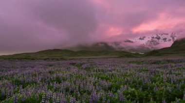 Lupine flower field with mountains. Souther Iceland. — Stock Video