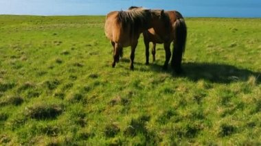 Wild horses eating green grass — Stock Video