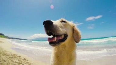 Golden Retriever at the Beach — Stock Video