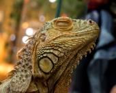 Iguana,guana — Stock Photo