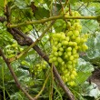 Bunches of green wine grapes hanging on the wine in late afternoon sun. Organic farming. — Stock Photo #79709820
